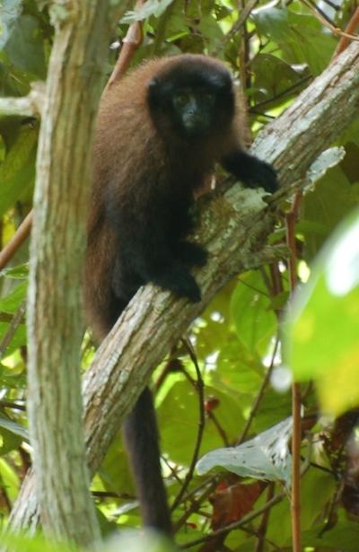 Foto del mono tití marrón de Urubamba, © Proyecto Mono Tocón