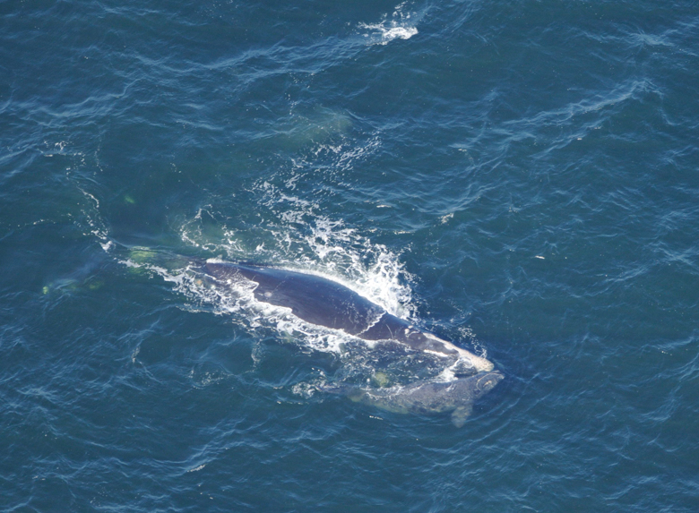 Piper and her newborn calf swim off the east coast of Florida in January, 2009. Photo credit: Jessica Taylor, New England Aquarium. NOAA Research Permit #655-1652-01.