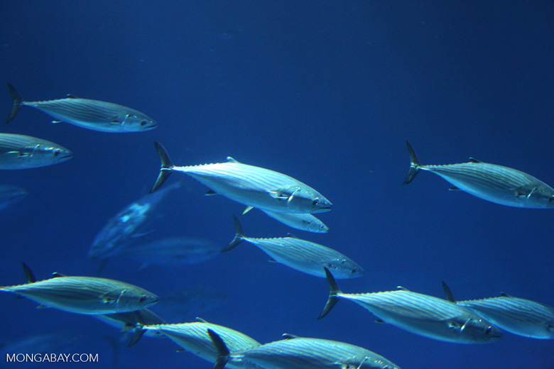 A school of Pacific bonito (Sarda chiliensis). Photo credit: Rhett Butler.