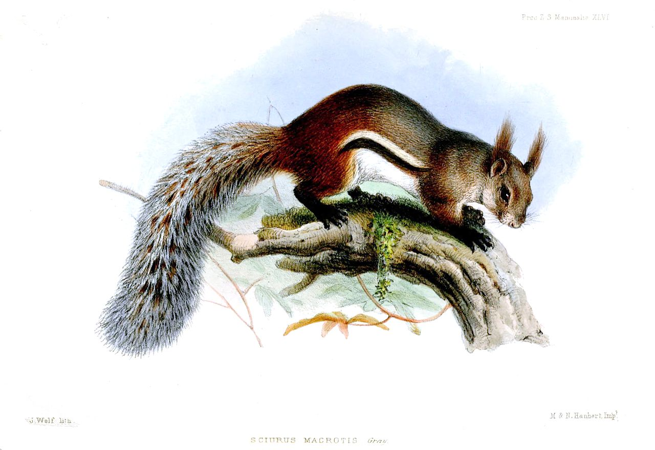 Bornean tufted ground squirrel. Illustration by Joseph Wolf, courtesy of Proceedings of the Zoological Society of London 1856.