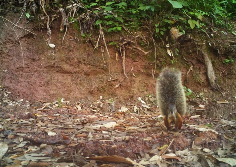 A Bornean tufted ground squirrel shows off its bushy tail. Photo by Integrated Conservation.