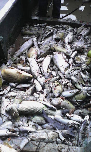 An estimated 100 miles of the La Pasión River were affected by the mass fish die-off, out of its total 200 miles. Photo courtesy of El Informante Petenero.