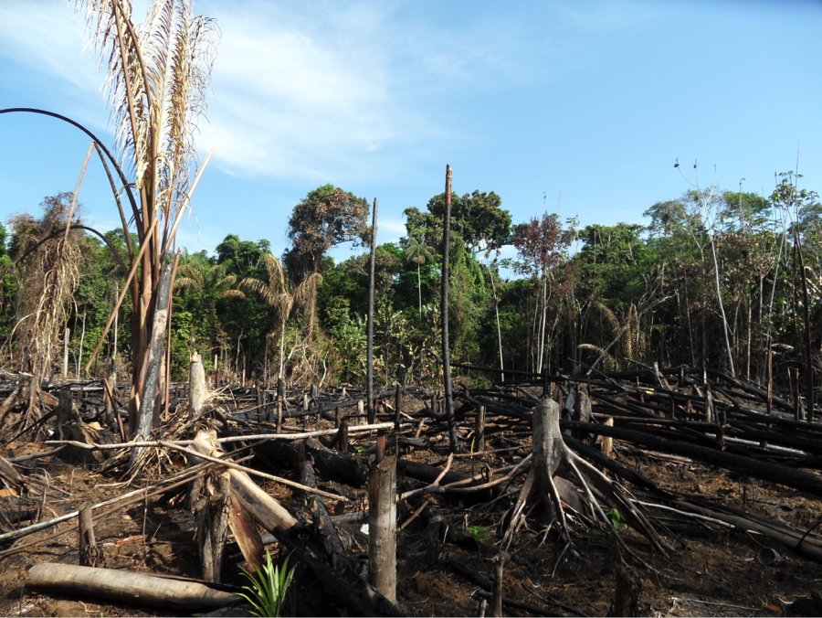 Swidden agriculture in the Brazilian Amazon directly following a prescribed burn, allowing farmers to plant desired crops. Photo by Catarina Jakovac.