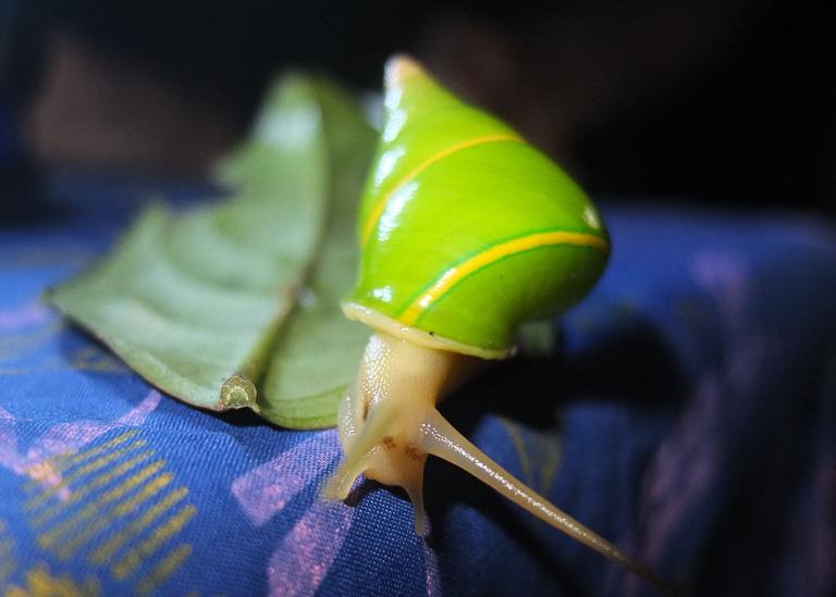 Un caracol Manus de árbol. Foto deNathan Whitmore.