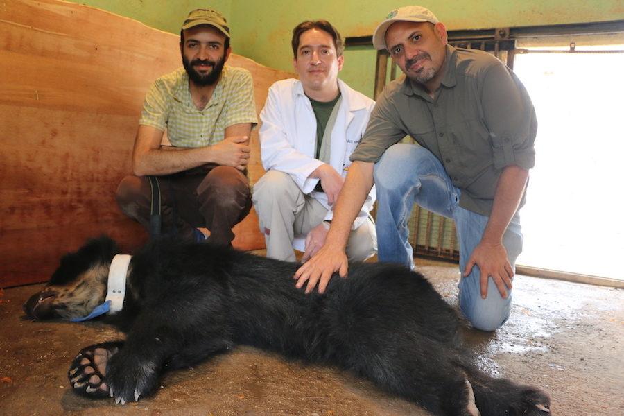 """Oso de anteojos: En la fotografía se ve al oso """"Yumbo"""" que fue rescatado y liberado en el sector del Noroccidente de Quito. En la fotografía se le ve con el collar que contiene un rastreador satelital que permite monitorearlo y garantizar su supervivencia. Cortesía: Max Araujo/ Asistente de Proyectos de la Fundación Zoológica."""