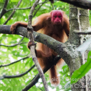 A red uakari (Cacajao calvus) on the Tapiche Reserve. Photo by Deborah Chen.