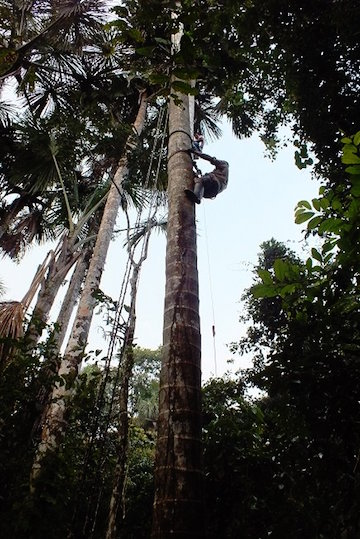 On the Tapiche Reserve, local people learn to climb native aguaje trees to harvest the fruit, rather than cut the trees down. Photo courtesy of Tapiche Reserve.