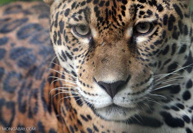 Jaguar populations fell dramatically along the Maxus road after its construction, probably due to steeply declining prey numbers. Photo by Rhett Butler