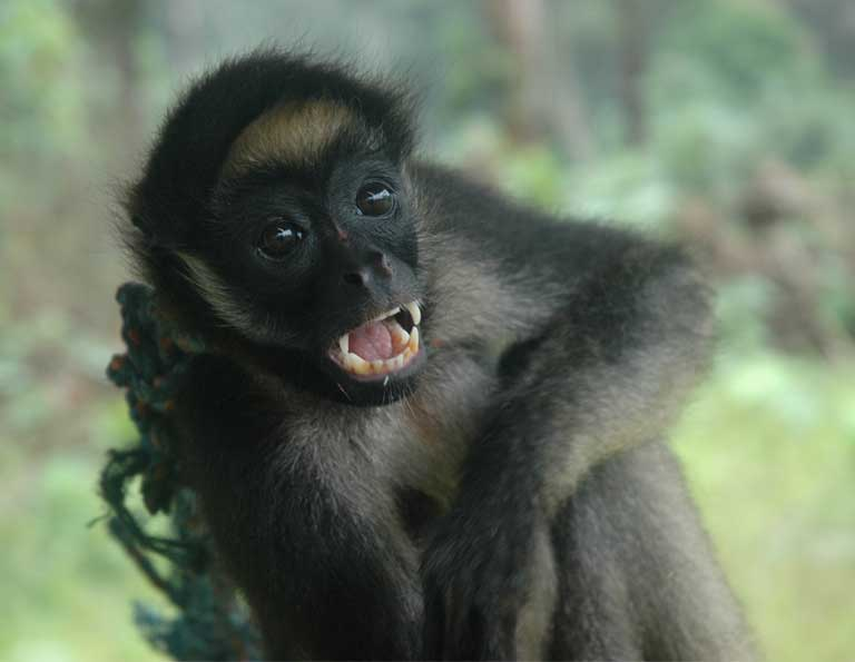 Spider monkeys (Ateles Belzebuth), sometimes kept as pets by indigenous families, are primates with stereotypically low reproductive capacity, which means they are easily overhunted and disappear quickly with the inidgenous acculturation process. Photo courtesy of Kelly Swing