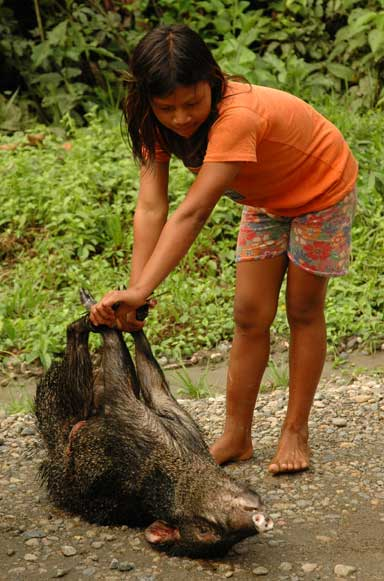 A Waorani girl with a peccary. In traditional societies such animals are often kept as pets, a tendency that has over time been widely adopted by Ecuadorian society in general. In areas close to oil roads prey species such as peccaries are much diminished, as are the predator species that hunt them. Image courtesy of Santiago Espinosa