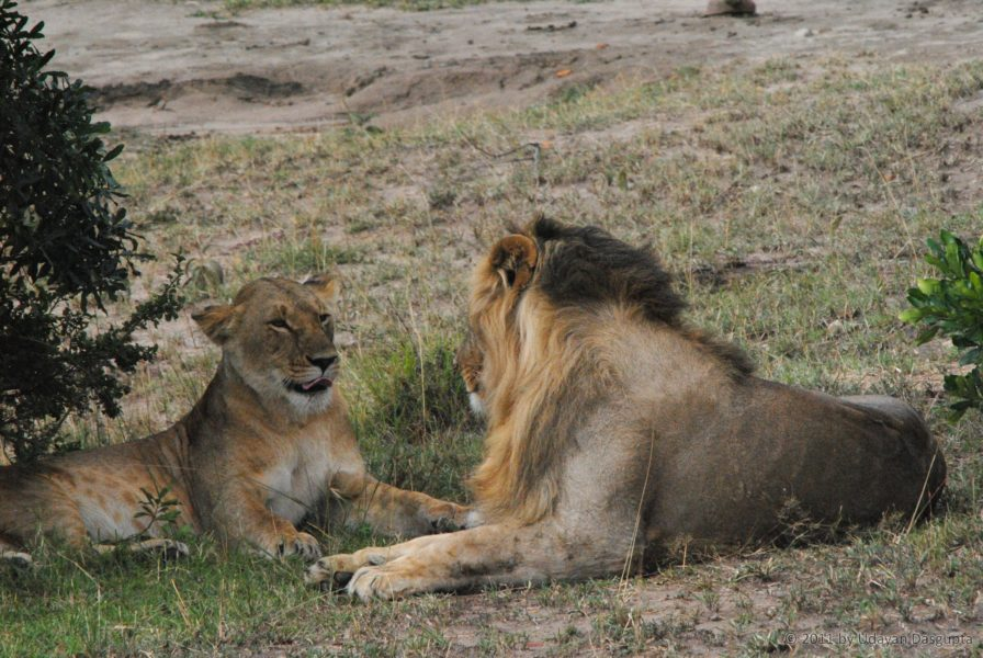 Despite the lack of funding, resources and data, experts believe it is still possible to save the lions. Photo by Udayan Dasgupta.
