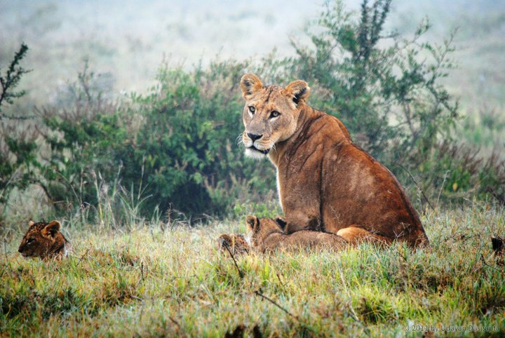 Researchers estimate that lions have suffered a 50 percent decline since 1990s. Photo by Udayan Dasgupta.