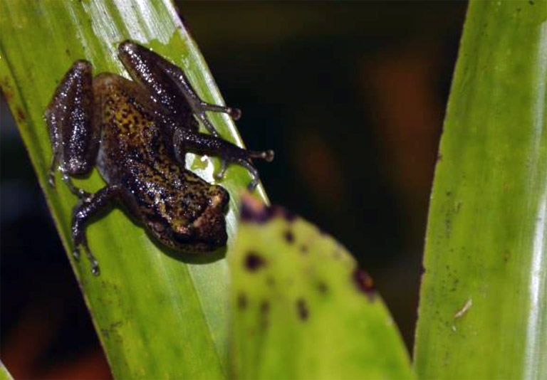 Pristimantis pardalinus., one of the amphibian species that were re-assessed. Photo by Rudolf von May.