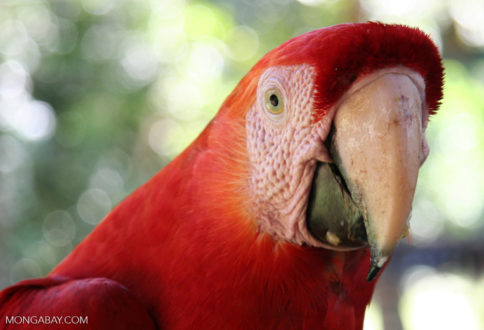 Wildlife like this scarlet macaw thrive in unfragmented Amazon forests. The loss of forests leads to major declines in biodiversity. Photo by Rhett Butler