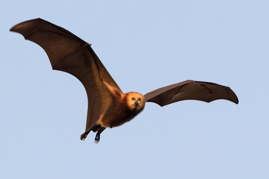 Mauritian fruit bats fly long distances. Photo by Jacques de Speville.