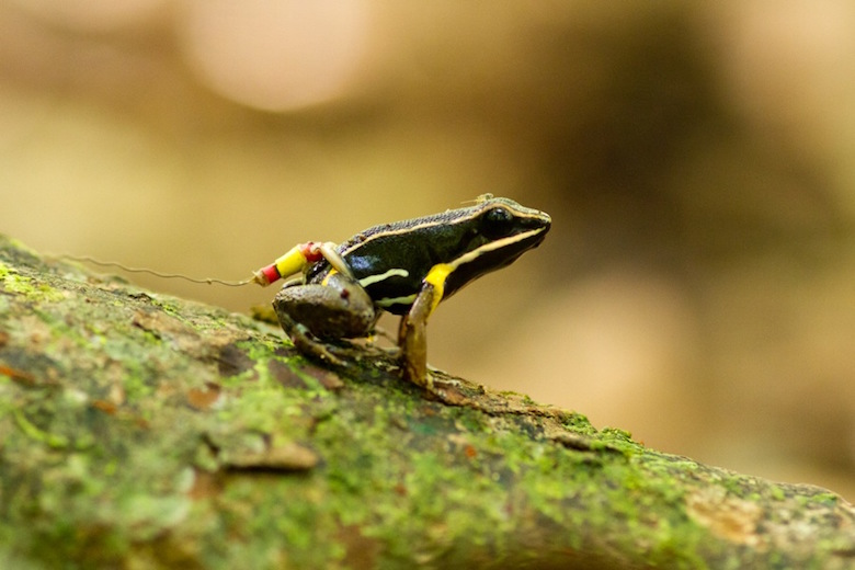 A brilliant-thighed poison dart frog wears a harmonic direction finder tag on its waist. Note the tiny springtail hitching a ride on its head. Photo by Andrius Pašukonis.