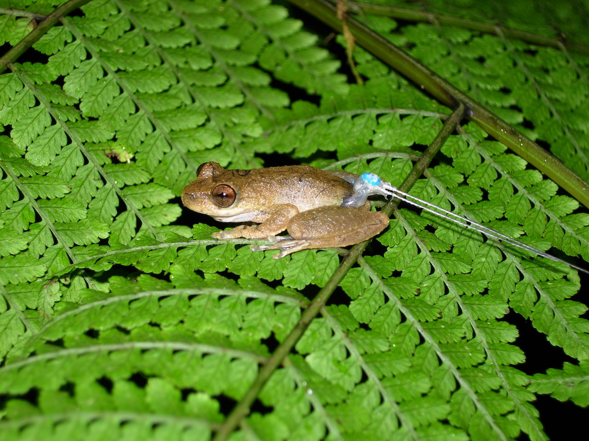 A common mist frog with a harmonic direction finder tag tied around its waist. The technology is cheap and lightweight, allowing scientists to learn about small amphibians. Photo by Betsy Roznik.