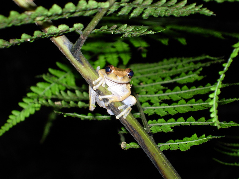 The common mist frog of Australia perched on a stem. The tiny species is threatened by habitat loss, climate change, and disease. Photo by Betsy Roznik.