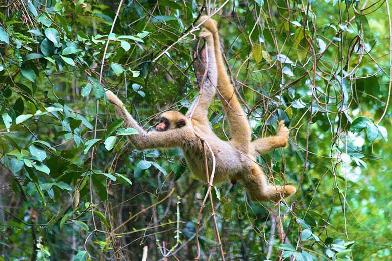 A prehensile tail is handy for these tree-dwellers who move around the forest using rapid hand-over-hand movements and tail-swinging techniques. Photo by Kenny Ross under Creative Commons Attribution 2.0 Generic license.
