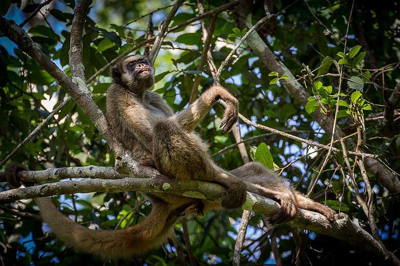 Life is good! Muriquis are more leisure-oriented than most other primates, and spend an average of 49% of their day resting — compared with 29% traveling, 19% feeding, and 2% socializing and engaging in other activities — according to researchers. A northern muriqui in RPPN Feliciano Miguel Abdala, Minas Gerais, Brasil. Photo by Bart van Dorp under the Creative Commons Attribution 2.0 Generic license.