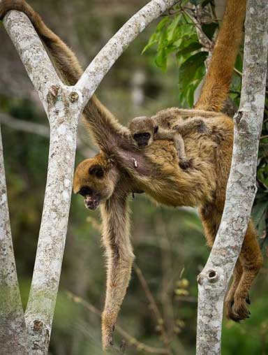 Baby on board, high in the canopy. Photo by Bart van Dorp under the Creative Commons Attribution 2.0 Generic license.