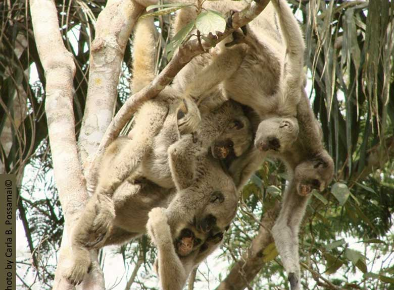 "Hippie monkeys"" just hanging out. When researchers first observed the northern muriquis' egalitarian society they were shocked. The species showed no dominance hierarchies, no fighting over food or sex, none of the competitive and aggressive behaviors that were thought to form the prevailing primate behavior paradigm tfor all species, including humans, at that time. The muriquis quickly became the poster primates for peace, love, and letting it all hang out. Photo by Paulo B. Possamai under Creative Commons Attribution 2.0 Generic license."