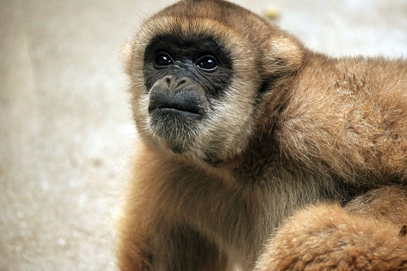 A sooty-faced Southern muriqui (Brachyteles arachnoides). These monkeys are found south of Rio de Janeiro to Paraná, with 90 percent of the population in São Paulo State. Facial pigment is one feature that distinguishes them from the Northern muriqui, who typically have mottled black and pink coloring. Photo by Miguelrangeljr under the Creative Commons Attribution 2.0 Generic license.