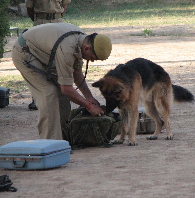 A sniffer dog during training at the 23rd Battalion of Special Armed Reserve Forces' Dog Training Centre in Bhopal, India. During nine months of training, dog teams learn to detect tiger and leopard skins and bones and bear bile. Once deployed in the field the dogs detect other wildlife contraband as well. Photo courtesy of TRAFFIC India.