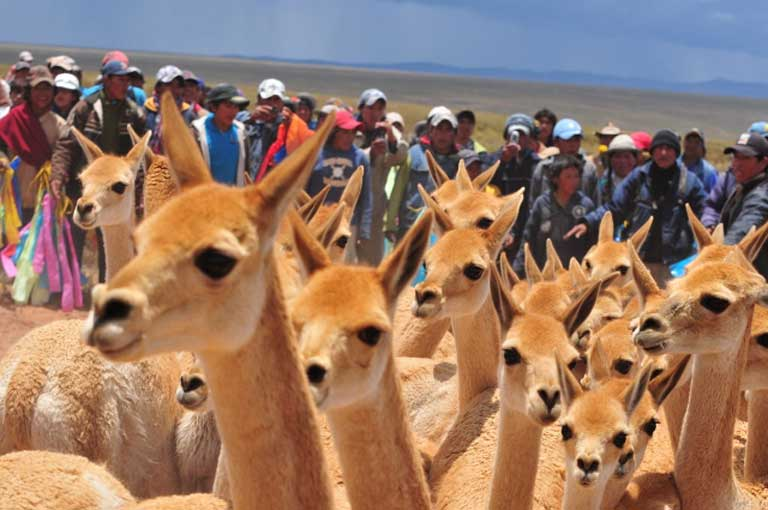 Vicuñas are herded and captured at Pulario. Photo by Daniel Maydana
