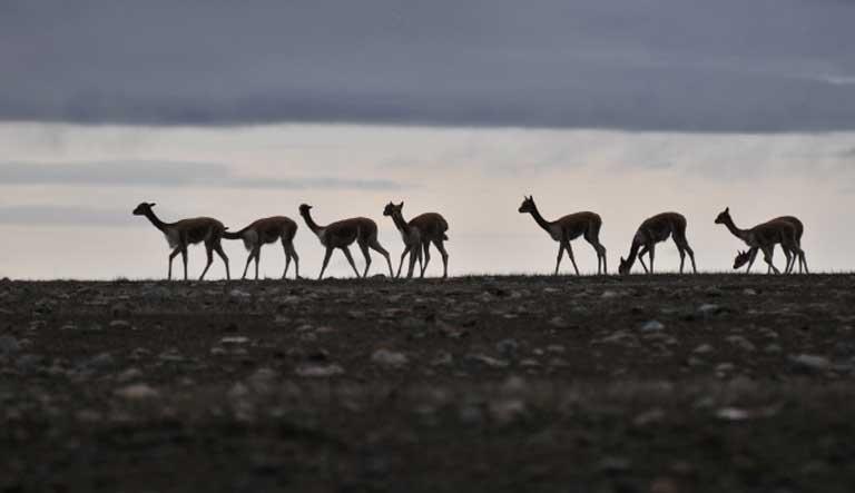Vicuñas at dawn at Apolobamba, Bolivia. Photo by Daniel Maydana