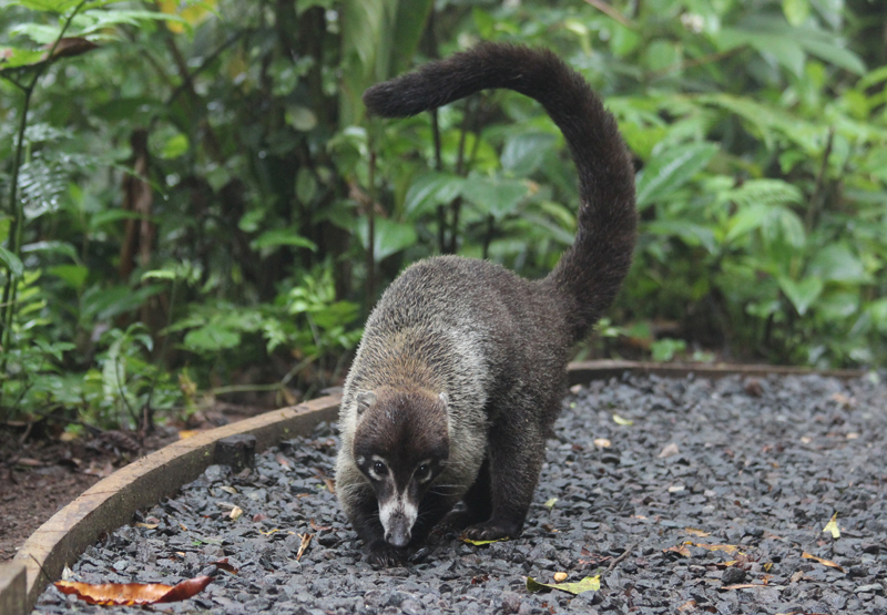 A white-nosed coati, popular with the exotic pet trade, one of which a trafficker attempted to smuggle through Costa Rica's largest airport. Photo by Benjamin Keen licensed under the Creative Commons Attribution-Share Alike 3.0 Unported license