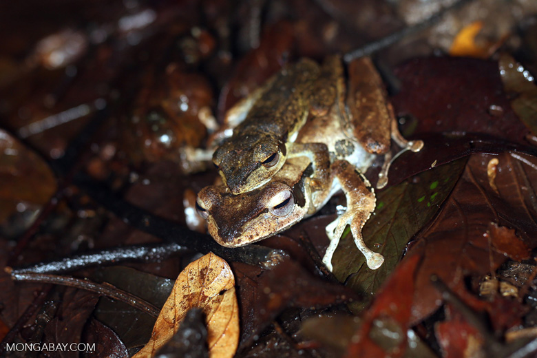 Frogs mate in the Malaysian state of Sabah. Photo by Rhett A. Butler