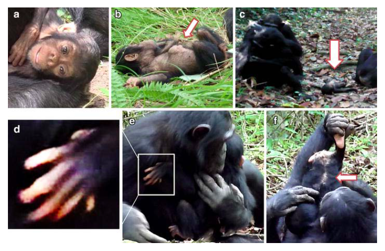 Abnormal features of XT11. a) Empty eyes and half-open mouth (9 months). b) A mass on her belly (11 months). c) Lying on the ground while the mother (left rear) grooms another individual nearby (6 months). d) An extra digit on her left hand (10 months). e) XP (elder sister) holds XT11. f) Bald patch along the spinal cord (10 months); XT11 is held by XP upside-down