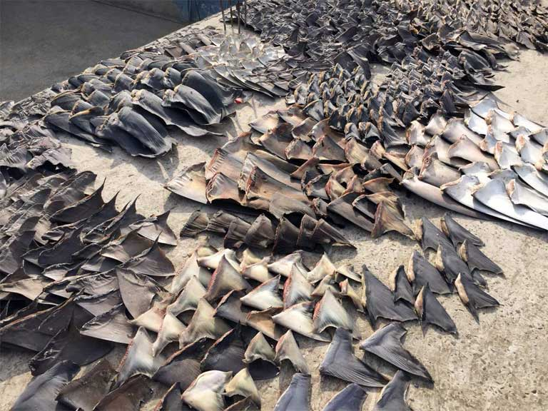 Shark fins seized by Ecuadorean police in the port city of Manta, Ecuador. Photo courtesy of Ecuador's Attorney General / AP