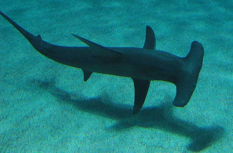 The Endangered great hammerhead shark (Sphyrna mokarran) is restricted to continental shelves and highly valued for its fins. It only reproduces once every two years. Photo by Jake Mohan licensed under the Creative Commons Attribution 2.0 Generic license