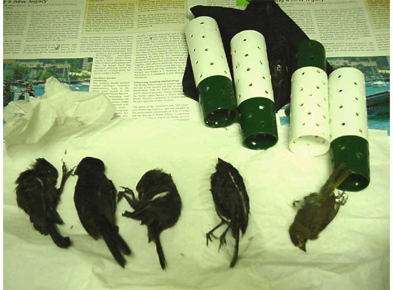Smuggled tropical birds hidden in a tube. Photo by Tom MacKenzie courtesy of USFWS