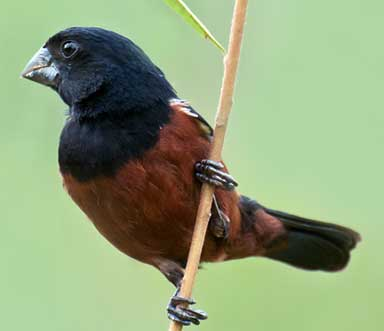 A Chestnut-bellied Seed Finch in Piraju, São Paulo, Brazil. Photo by Dario Sanches licensed under the Creative Commons Attribution-Share Alike 2.0 Generic license.