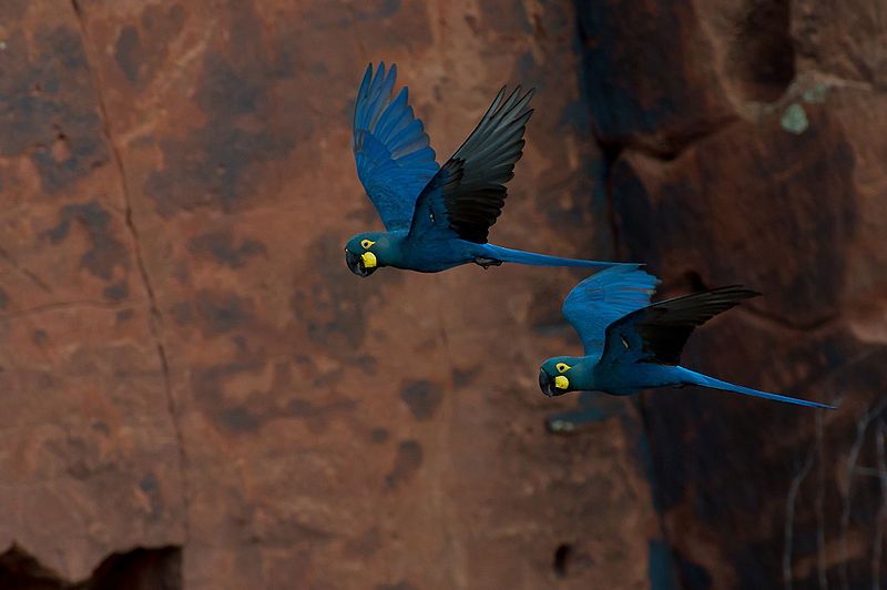 The Endangered Lear's Macaw (Anodorhynchus leari). Birds, loved for their plumage and their songs, are among the most trafficked of all animal species in Latin America. Photo by Joao Quental licensed under the Creative Commons Attribution 2.0 Generic license.