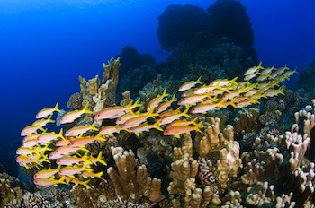 Many fish species call Easter Island's coral reefs home. The waters host 27 threatened species listed on the International Union for Conservation of Nature's Red List, and ten of these are in critical condition. The newly announced marine reserve will safeguard this biologically diverse and rare ocean environment.