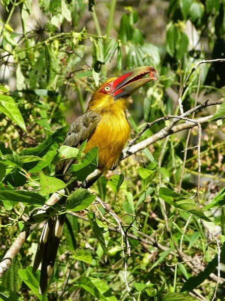 The saffron toucanet (Baillonius bailloni) is a resident of the Ecological Corridor Urugua-í –Foerster. It is listed by the IUCN as Near Threatened globally, and as Threatened in Argentina. Photo by Julián Baigorria.