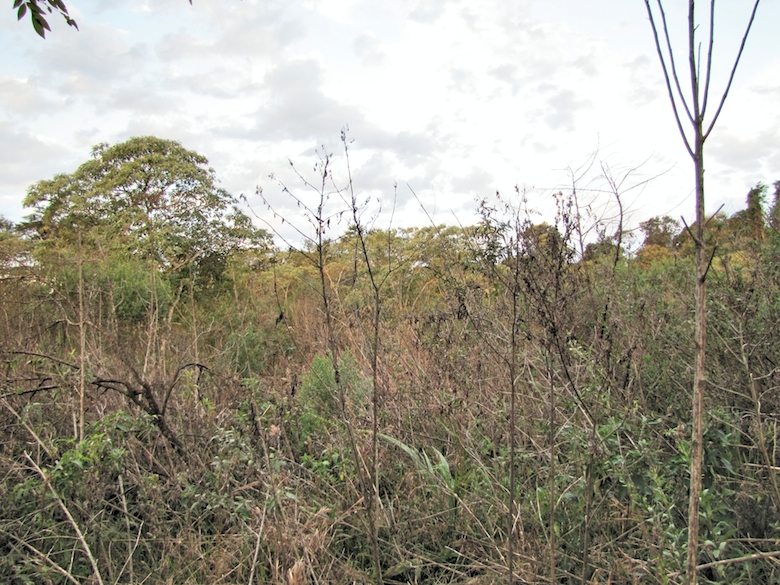 The secondary forest habitat type the researchers looked at consists of shrubs and trees that are among the first to grow during the intermediate stage of recovery. Photo by Flavia Barzan.
