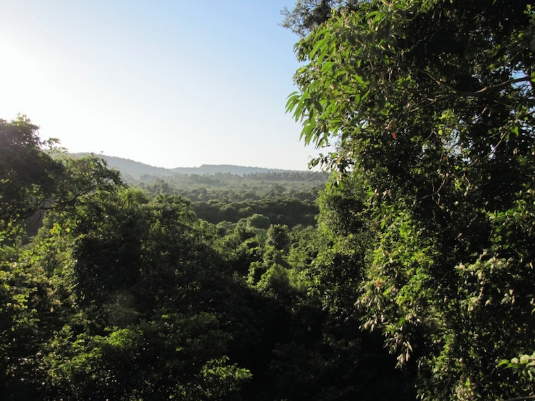 Mature Atlantic Forest once covered about 80 million hectares in Brazil, Paraguay, Argentina. Today, only around 5 percent remains, making it one of the most threatened regions in the world. Photo by Flavia Barzan.