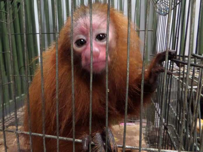 Primates sold at Bellavista tested positive for viruses causing encephalitis, yellow fever, dengue fever, and hemorrhagic fever.