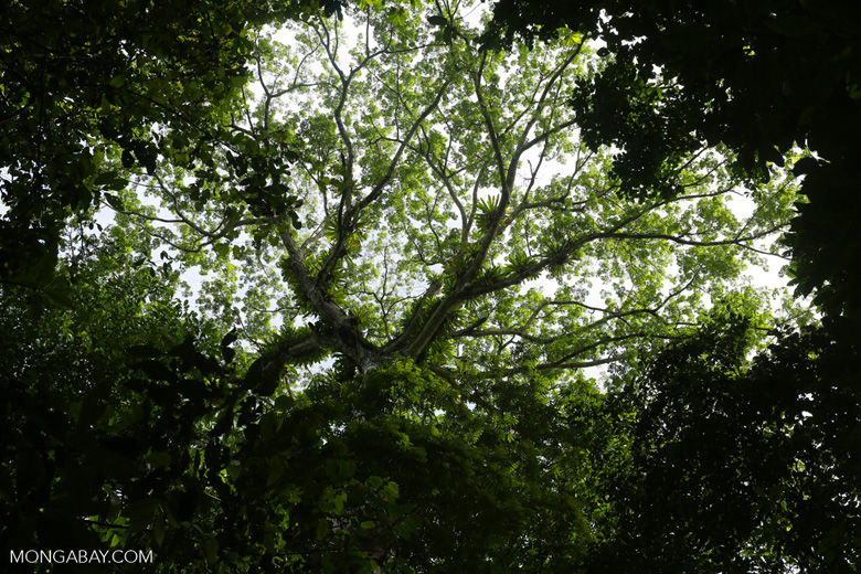 Tropical forests store 25% of global carbon, but until now tracking deforestation and the loss of that carbon to the atmosphere has been very difficult to track. Photo by Rhett A. Butler