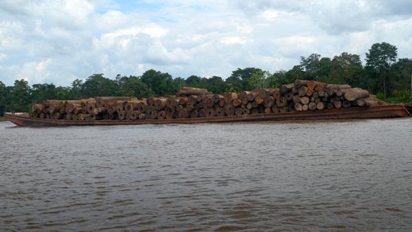 Debido a la poca fiscalización en el tráfico ilícito de madera con los años esta actividad se ha vuelto rentable, sin embargo desde hace 6 años el Gobierno peruano la considera como crimen organizado. (Fotografía: Mongabay)
