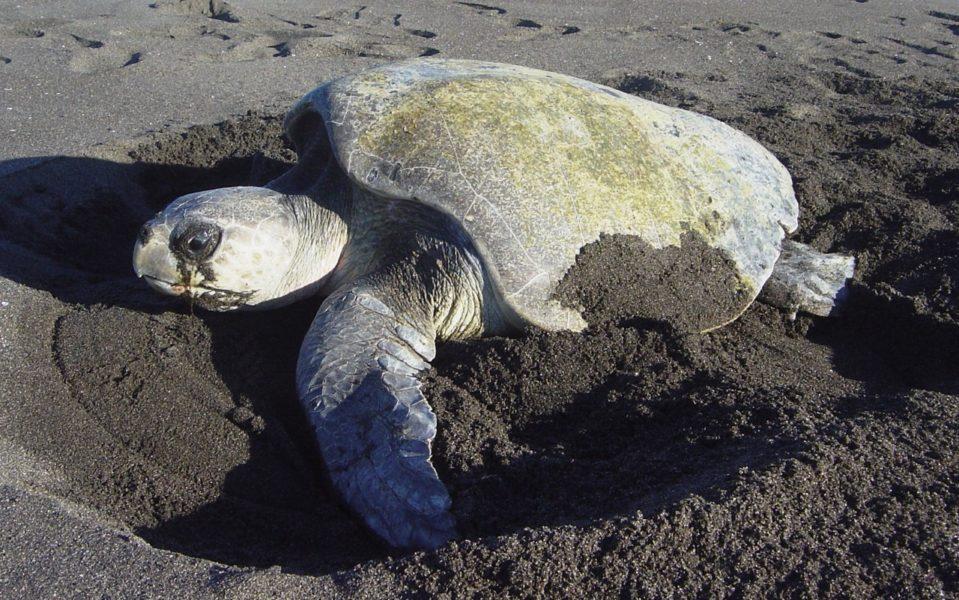 Las tortugas marinas se encuentran en peligro de extinción en Guatemala. Ellas son cazadas por su carne, para obtener los aceites de sus cuerpos y por sus conchas. Foto cortesía de Arcos.