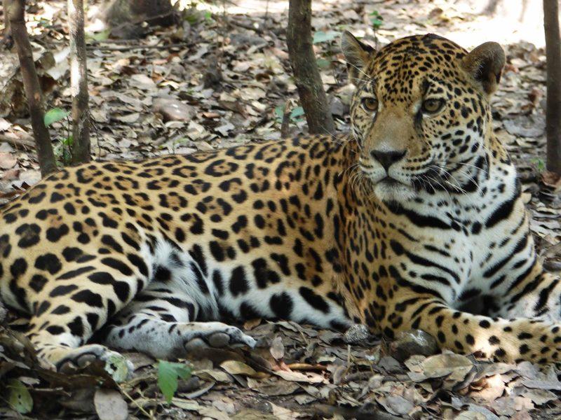 De acuerdo al CONAP, el jaguar habita en bosques del área protegida de la Reserva de la Biosfera Maya, en el departamento del Petén, y también en el sur de México y Belice. Se cree que quedan alrededor de 250 jaguares en Guatemala. Foto cortesía de Arcas.