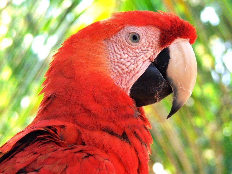 La Reserva de la Biósfera Maya es el último hábitat de la guacamaya roja que queda en Guatemala, y contiene el área de anidación más importante para la especie en el país. Foto cortesía de Arcas.