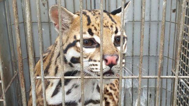 El tigrillo capturado. Foto cortesía de Servicio Nacional Forestal y de Fauna Silvestre (Serfor).