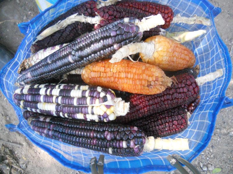 """Maíz blanco, negro, rojo, amarillo, morado y """"jaspeado"""", que es una combinación de colores, son una muestra de la diversidad de este alimento. Foto de Pablo Hernández Mares."""